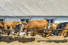 Vacas na alimentação da exploração agrícola do verão do ar livre no feno em um prado Exploração agrícola de leiteria agrícola ind imagens de stock