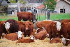 Vacas na alimentação-jarda da herdade Imagens de Stock