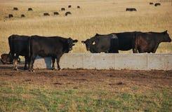 Vacas na calha da água Imagens de Stock Royalty Free