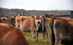 Vacas na cerca do pasto Imagens de Stock