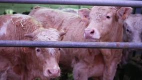 Vacas na dobra na exploração agrícola vídeos de arquivo