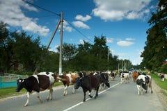 Vacas na estrada Fotos de Stock Royalty Free
