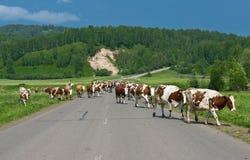 Vacas na estrada Imagens de Stock