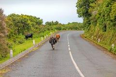 Vacas na estrada Fotografia de Stock Royalty Free