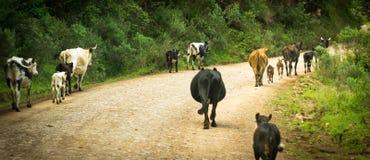Vacas na estrada Imagens de Stock Royalty Free