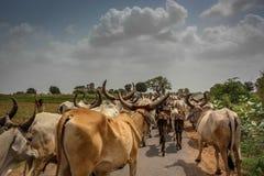 Vacas na estrada Imagem de Stock Royalty Free