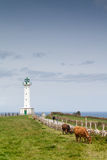 Vacas na estrada ao farol Imagens de Stock Royalty Free