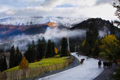 Vacas na estrada da montanha Foto de Stock Royalty Free