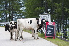 Vacas na estrada do panorama de Goldeck em Áustria Fotos de Stock Royalty Free
