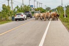 Vacas na estrada em Tailândia Fotografia de Stock