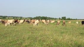 Vacas na exploração agrícola vídeos de arquivo