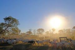 Vacas na exploração agrícola com sinal Fazenda Paraiso - texto português da exploração agrícola de Paradise, estrada de Transpant imagem de stock royalty free
