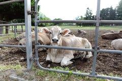 Vacas na exploração agrícola do campo Fotos de Stock