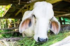 Vacas na exploração agrícola local Foto de Stock