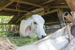 Vacas na exploração agrícola local Fotos de Stock Royalty Free