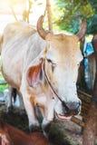 Vacas na exploração agrícola local tailandesa Imagens de Stock