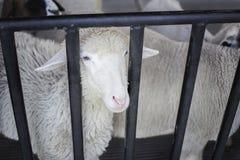 vacas na exploração agrícola Vacas de leiteria Fotos de Stock