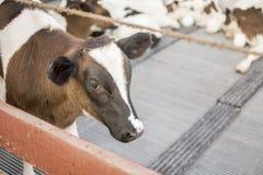 vacas na exploração agrícola Vacas de leiteria Fotografia de Stock Royalty Free
