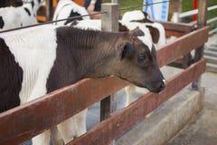 vacas na exploração agrícola Vacas de leiteria Imagens de Stock
