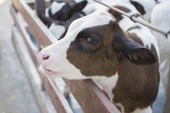 vacas na exploração agrícola Vacas de leiteria Fotografia de Stock