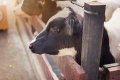 vacas na exploração agrícola Vacas de leiteria Imagem de Stock