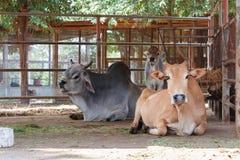 Vacas na gaiola Imagem de Stock