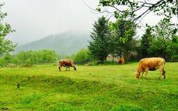 Vacas na grama Imagens de Stock Royalty Free