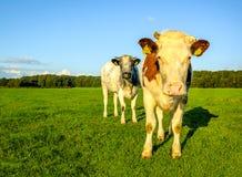 Vacas na luz do amanhecer fotografia de stock