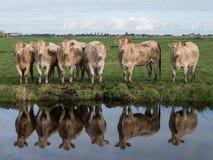 Vacas na margem Fotos de Stock Royalty Free