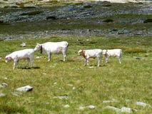 Vacas na montanha Foto de Stock