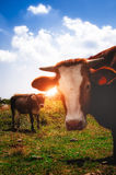 Vacas na montanha Foto de Stock Royalty Free