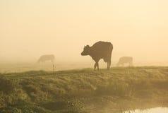 Vacas na névoa Fotos de Stock Royalty Free