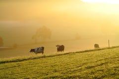 Vacas na névoa dourada do amanhecer pelo alvorecer Foto de Stock Royalty Free