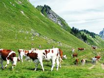 Vacas na natureza Imagens de Stock Royalty Free