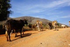 Vacas na paisagem de Myanmar Foto de Stock Royalty Free
