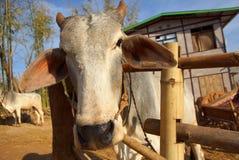 Vacas na paisagem de Myanmar Fotos de Stock
