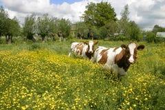 Vacas na paisagem holandesa 5 imagens de stock