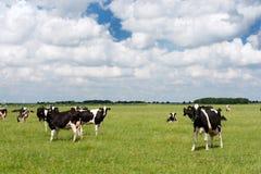 Vacas na paisagem lisa holandesa foto de stock