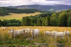 Vacas na paisagem norueguesa Imagens de Stock Royalty Free