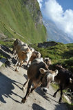 Vacas na pastagem áspera Foto de Stock