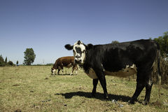 Vacas na pradaria fotos de stock royalty free