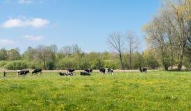 Vacas na primavera Fotos de Stock