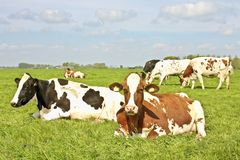 Vacas na primavera nos campos foto de stock