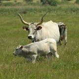Vacas na região de Maremma Imagens de Stock