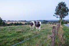 Vacas na terra Fotografia de Stock Royalty Free