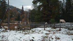 Vacas na vila no inverno vídeos de arquivo