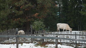 Vacas na vila no inverno filme