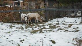 Vacas na vila no inverno video estoque