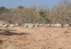 Vacas nacionales en el bosque foto de archivo libre de regalías