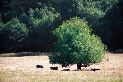 Vacas negras Imágenes de archivo libres de regalías
